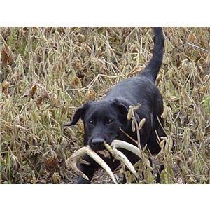 Shed Antler Dog For Sale Ad 57327