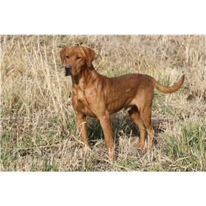 Dogs For Sale In Knoxville Iowa