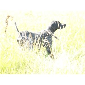 12 best Black Tick German Shorthair images on Pinterest ...  |Black Ticked German Shorthaired Pointer Puppies