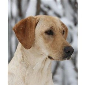 Exeptional Breeding of 2 upcoming Champions - Labrador Retrievers in Menasha, Wi Image