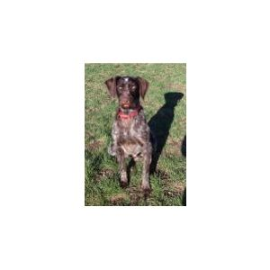 started German wirehair pointer Image