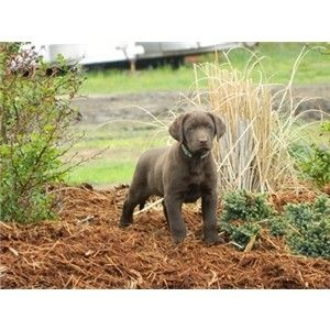 Beautiful AKC chocolate puppies for the feild and the family Image