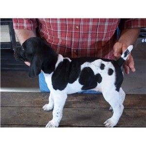 Honker X Willow  Black and White German Shorthair pups Image