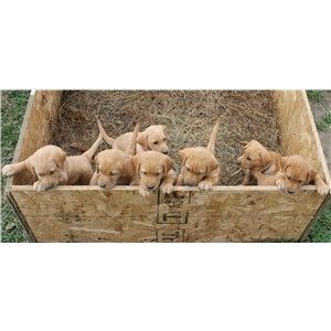 CHAMPION BLOODLINES--AKC Natural Pointing Fox Red/Yellow Labrador Retrievers Image