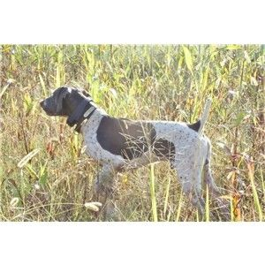 EXCELLENT FIELD TRAIL/NSTRA GSP PUPS Image