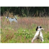 Started English Setter - Monticello Florida Image