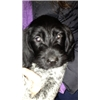 German Wirehaired Pointer - VERY special Puppies! Image
