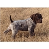 Outback Kennel  German Shorhaired Pointer Puppies Available Image