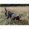 Trained Gun Dogs from Outback Kennel Image