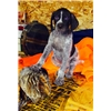 AKC  German Short-Hair Pointer Puppies Champion Lines Image