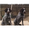 German Wired Haired Pointer Puppies! THE BEST OF THE BEST! Image