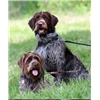 Wire Haired Pointing Griffon Puppies Image