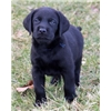 BLACK LAB PUPS Image