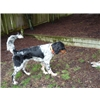 NAFC FC AFC English Setter Sired Started Male  Image