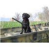 AKC/UKC Dual Registered Labrador Started Dogs Image