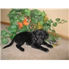AKC/UKC Dual Registered Labrador Puppies Image