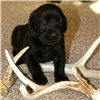 Shed Hunting Lab Puppies Image