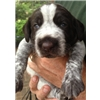 AKC German Wirehaired Pointer Puppies Image