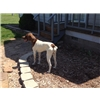 AKC Male German Shorthaired Pointer 8mo Image
