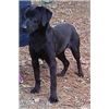 **{{ ARKANSAS DUCK DOG - BRITISH FIELD CH. }}** Image