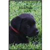 AKC & UKC Gun Dog / Field Trial Pups Available NOW!!  Image
