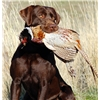 Chocolate Pointing Labradors from Champion hunting lines Image