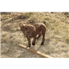 German Wire Haired Pointer Vizsla mix puppies for sale  Image