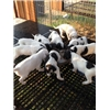 Setter pups for sale Image