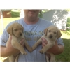 AKC English Labrador Puppies Image