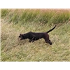 10 month old Natural Pointing Black Lab Female For Sale Image