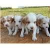 Pure Bred Brittany Puppies Image