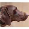 ChocolateLove ISO Top German Shorthaired Pointer Stud  Image