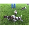 Purebred/AKC Registered German Shorthair Pointer Puppies Image