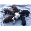 GSP puppies  Image