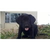 Master hunter Hunting retriever champion puppies MH HRCH black lab puppies Image