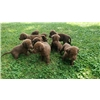 APR Sired puppies- Chocolate pointing lab pups Image