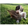 Quality German Shorthaired Pointer puppies! Image