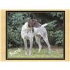 Versatile Master Hunter & AKC Champion bred puppies Image