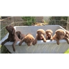 Chesepeake Pups Image