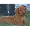 AKC Vizsla Pups  Image