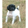 Solid black and black and white GSP pups Image