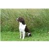 Started - 15 month old Field Bred English Springer Spaniel Hunting Dog Image