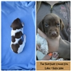 Imported German Shorthaired pointer puppies Image