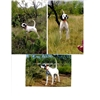 English pointer 4 1/2 year old Image
