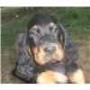 Gordon Setter Puppies Image