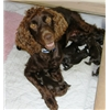 Boykin Spaniel Puppies Whelped 9-10-14 and Ready for Homes at 8 weeks Image