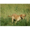 For Sale: GMPR Sired Yellow Pointing Lab Pups @ Coteau View Kennels Image