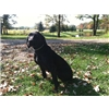 AKC Game Farm Guide Dog For Sale Image