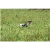 Finished Springer Spaniel for sale... Image