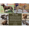 Top Bloodline Chesapeake Puppies Available Image